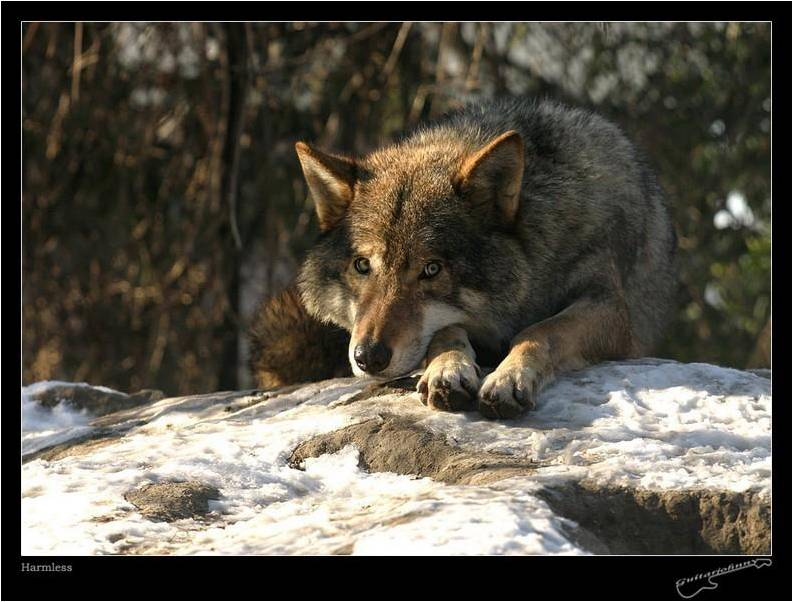 Les Loups 2