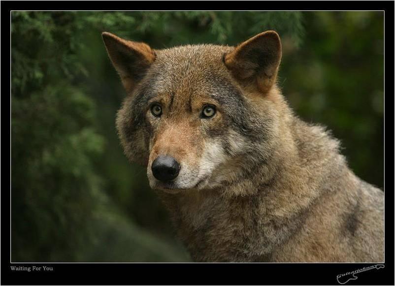 Les Loups 5