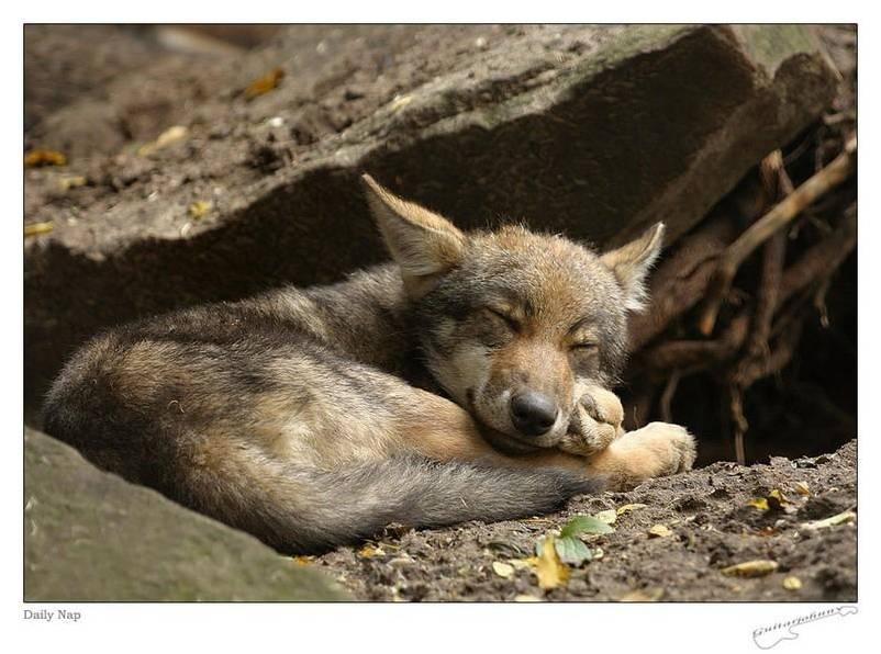 Les Loups 3