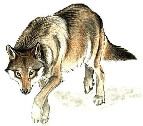Loup - Image de dessin de loup ...