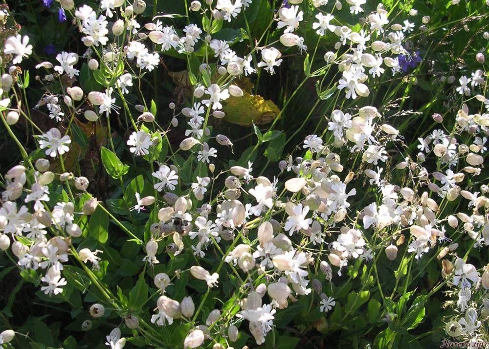 Petites fleurs blanches - Arbuste petites fleurs blanches ...