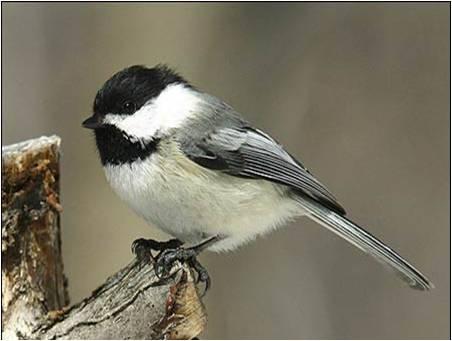Les oiseaux toutes categories for Oiseau gris et blanc