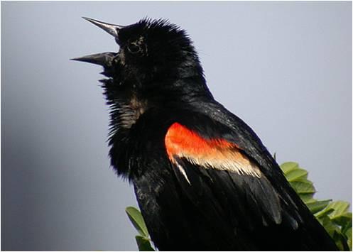 Les oiseaux toutes categories page 2 for Oiseau orange et noir