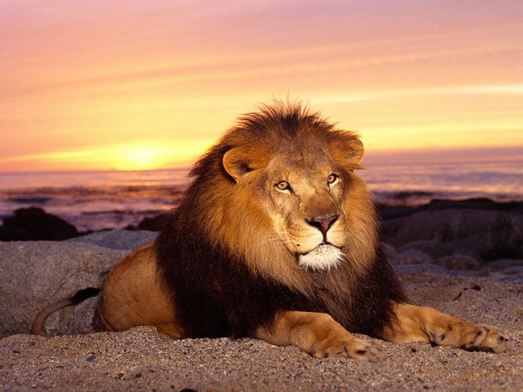Le Lion : Panthera Leo dans 10. Insolite Nature vo3l8fvg