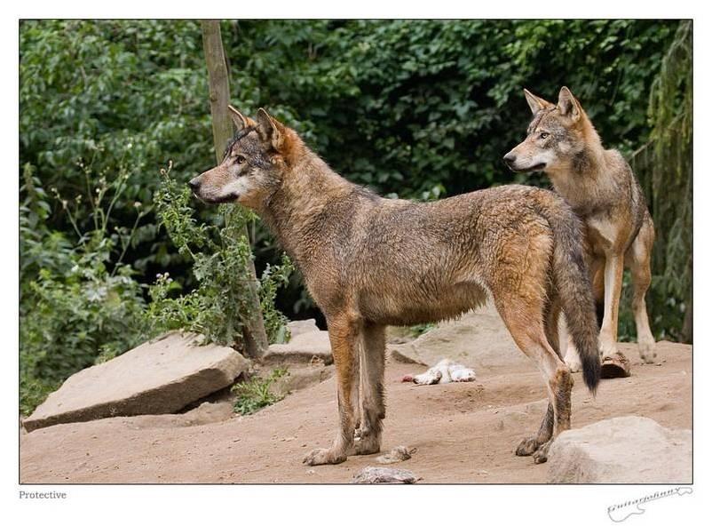 Les Loups 4